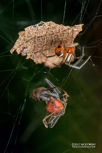 Comb-footed spider (Nihonhimea sp.) - DSC_8628
