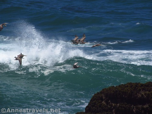 Pelicans brave the waves at Point Arena-Stornetta National Monument, California