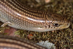 Western Three-toed Skink (Chalcides striatus) close-up ...