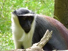 Cerza Zoo - roloway monkey