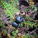 Small photo of Krekling / Crowberry
