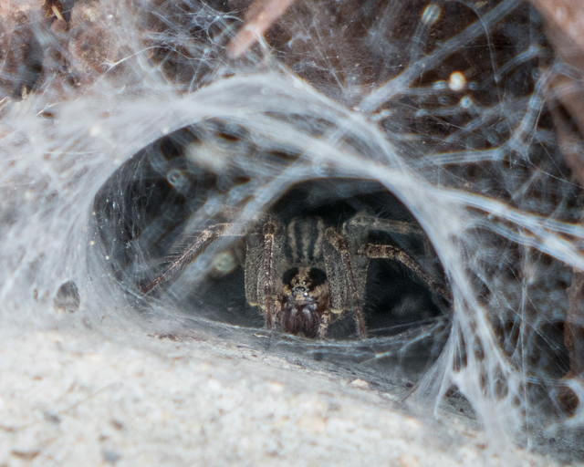 spider in funnel web