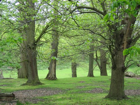 trees in knole park