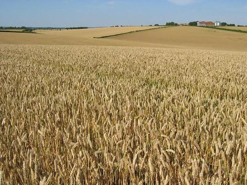 corn dunes