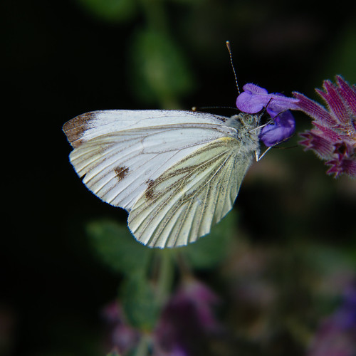 Large white butterfly on catmint