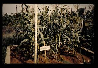 強酸性砂質土壌の改良によって生育良好なトウモロコシ(収穫期近い)