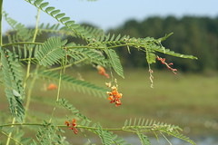 Bladderpod (Sesbania vesicaria)
