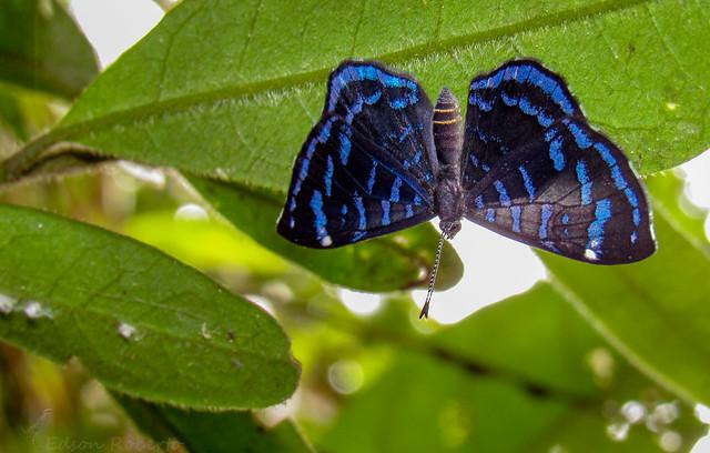 Ionotus alector