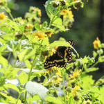 Palamedes+Swallowtail
