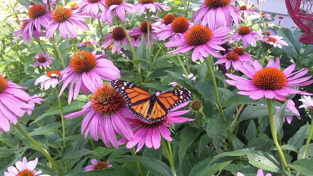 Monarch on the coneflower
