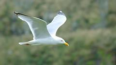 Gull - Skomer