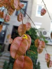 Chinese Golden Rain Tree