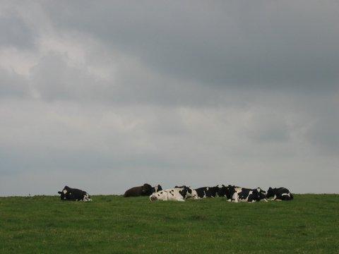 29 cows