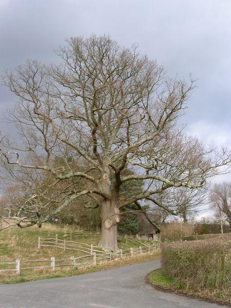 Tree near Kiplings House