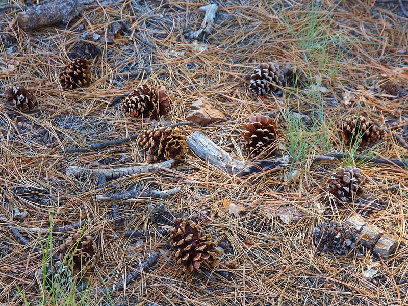 IMG_1299 Ponderosa Pine Cones
