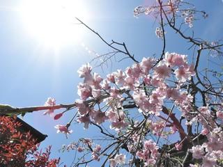 降る桜 1