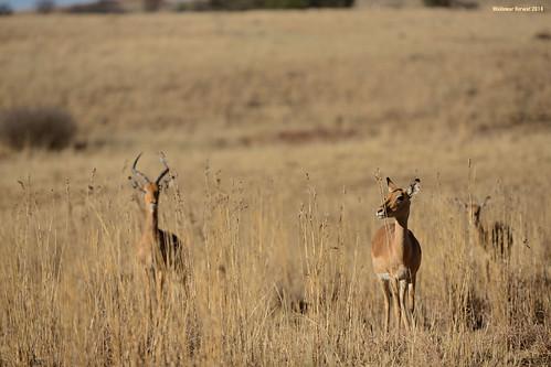 Impala in Grass
