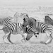 fighting zebras by jules_1200r