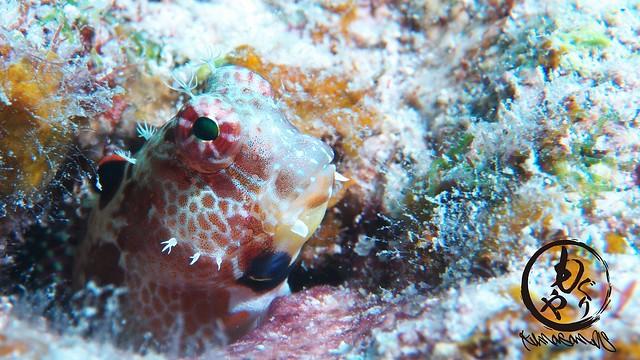 エリグロギンポ幼魚ちゃん♪