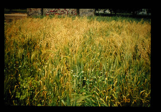 Mixed Cropping Of Mustard And Wheat = からしなと小麦の混作
