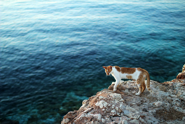 cat blue sea