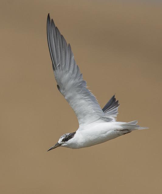 Least Tern (juvenile), Nikon D7200, AF-S Nikkor 300mm f/4D IF-ED