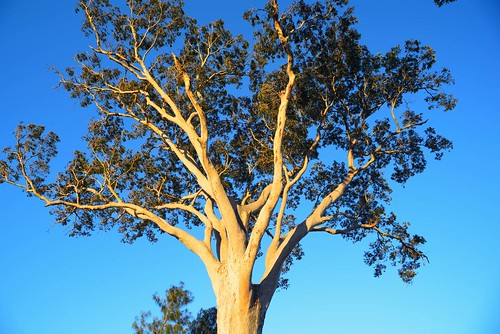 Gum Tree in Afternoon Light 2