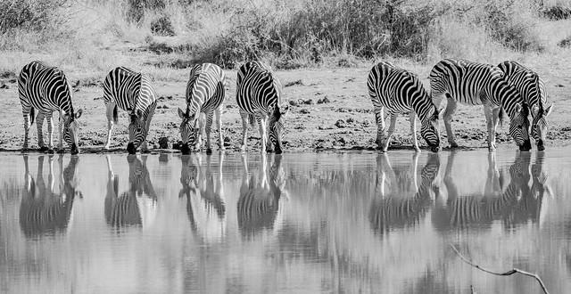 Zebras taking a break