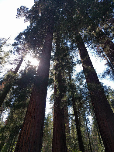 Looking up in the Merced Grove, Yosemite National Park, California. Courtesy of Nick Doty