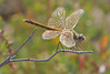 Female red veined darter