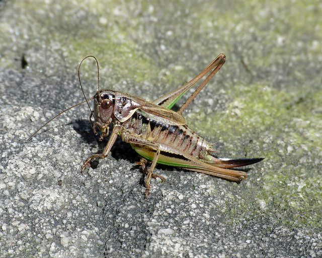 Bog Bush-cricket - Metrioptera brachyptera