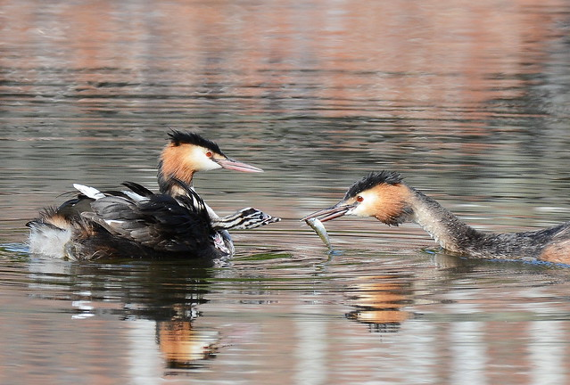 Great Creted Grebes, Nikon D7100, AF-S Nikkor 200-500mm f/5.6E ED VR