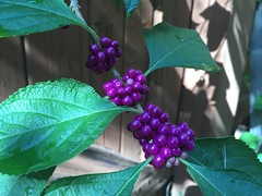 Afternoon sun on American Beaty Berry