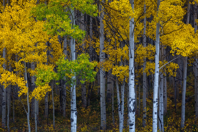 What's taking you so long?  Aspen grove, San Juan Mountains, Colorado