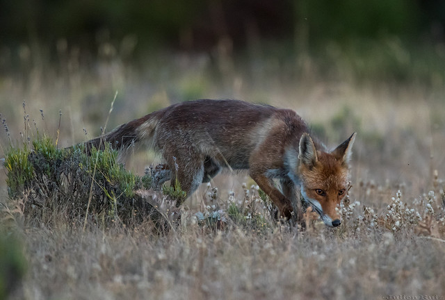 Renard Roux- Vulpes Vulpes, Canon EOS-1D X MARK II, Canon EF 600mm f/4L IS + 1.4x