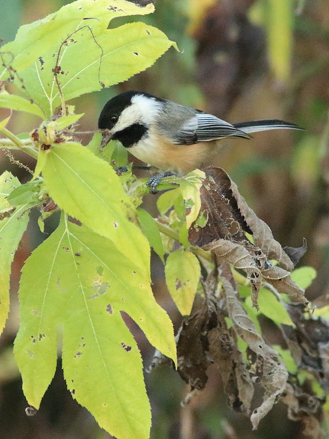 Black-capped Chickadee 2-20170928