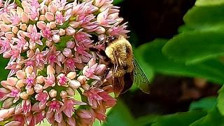 Bumblebee on stonecrop