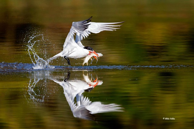 Caspian Tern with Northern Pike