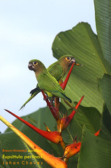 Brown throated parakeet share