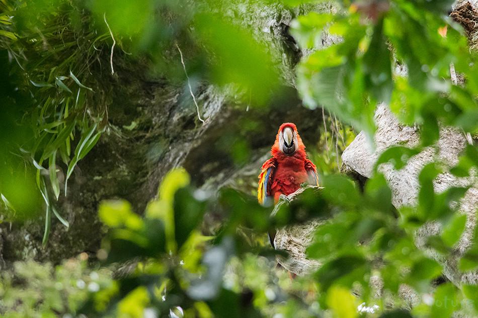 Puna, aara, Makao, Ara, macao, cyanoptera, Scarlet, Macaw, Carara, National, Park, Costa Rica, Kaido Rummel