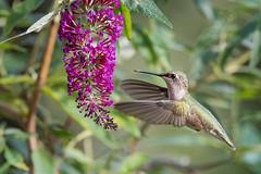 Hummer at Butterfly bush