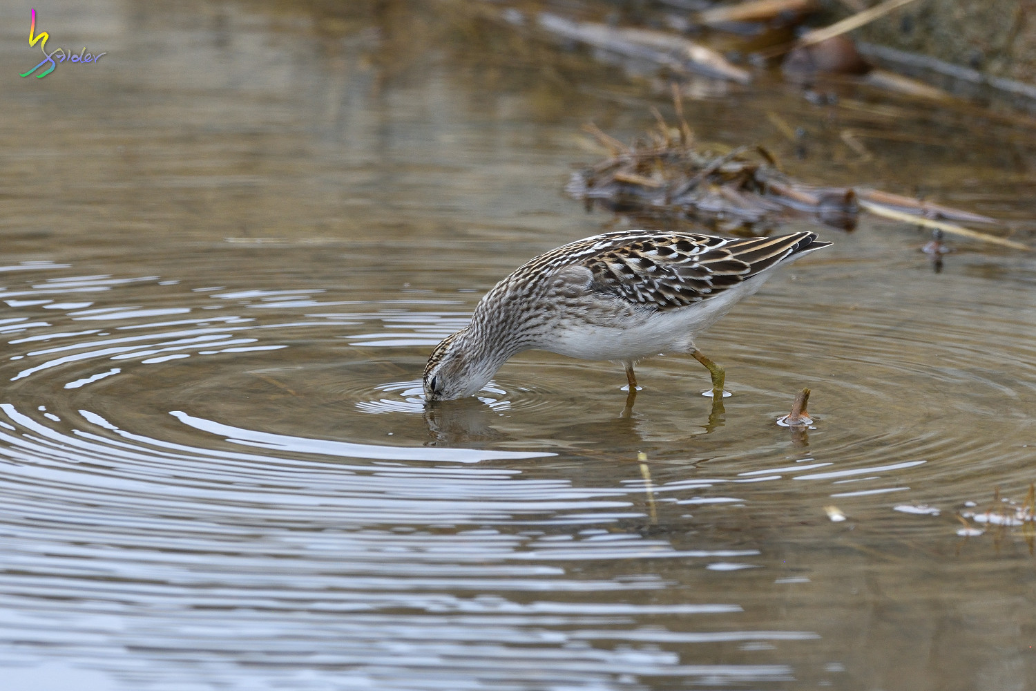 Long-toed_Stint_5960