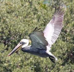 Pelican Clearwater Beach FL