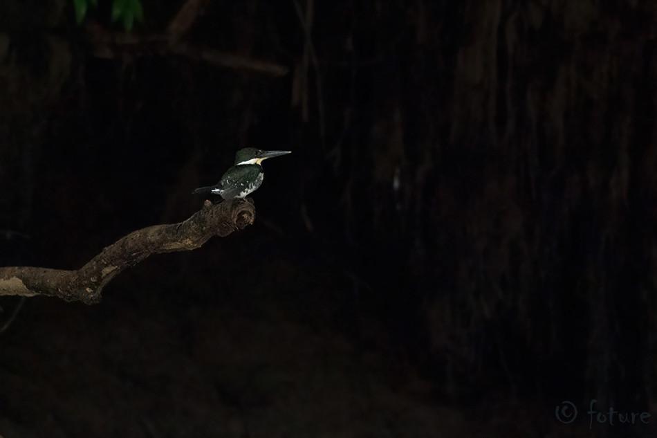 Väike, kuningkalur, Chloroceryle, americana, septentrionalis, Green, Kingfisher, Caño, Negro, Wetland, Costa, Rica, Kaido Rummel