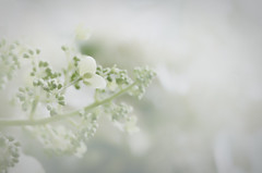 """White Hydrangeas"""