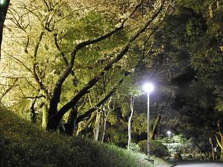 千葉公園 野球場の夜桜10