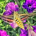 White-lined Sphinx moth, Aspen, Colorado, 2017