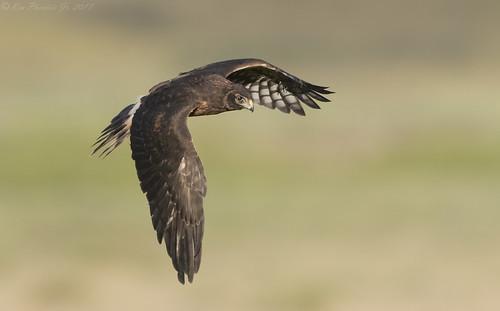 Northern Harrier Fledgling