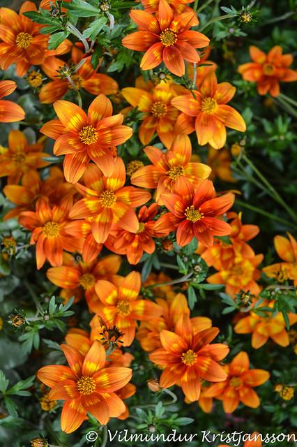Orange flowers (DSC_3739vk)