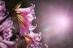 DAy 231 ~ Pink Amaryllis
